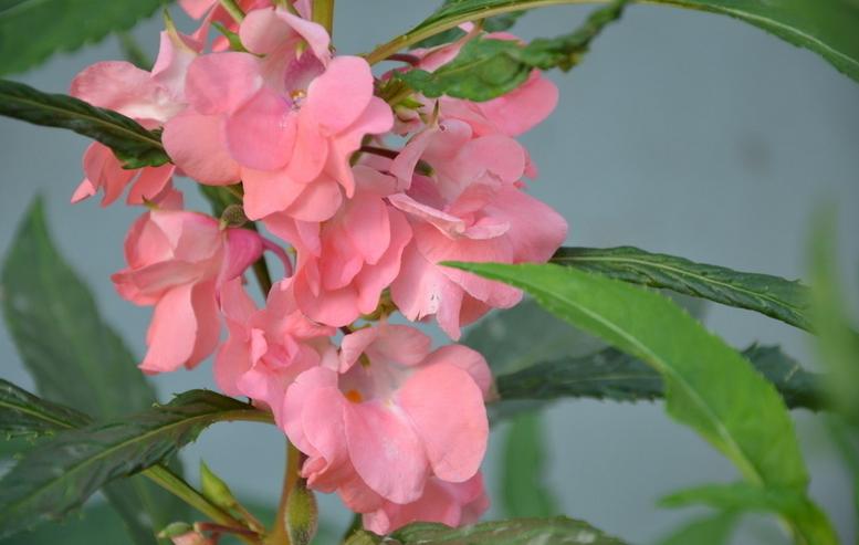 凤仙花具有很强的抑制真菌的作用,同时它颜色艳丽,用它来染指甲既能