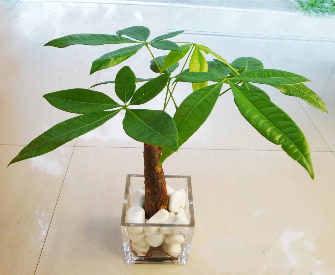 家养发财树的养殖方法+
